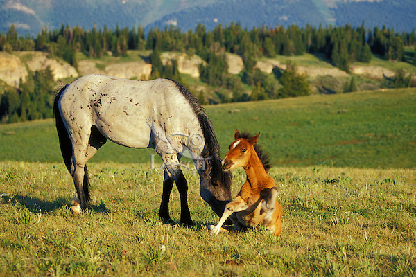 Wild Horses--adolescent (last years colt ) checking out this years young colt.  Western U.S., summer..(Equus caballus)