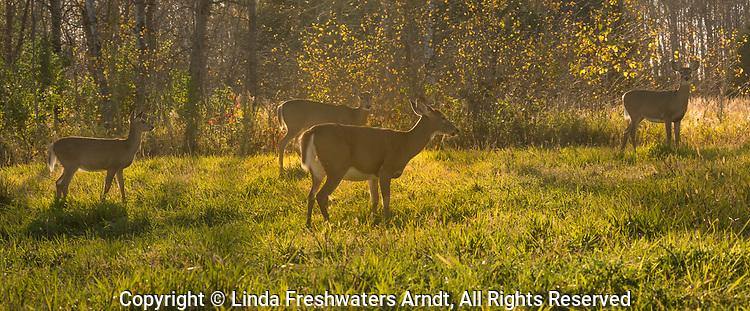 White-tailed deer feeding in an autumn field.