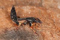 Kurzflügler, Abwehrverhalten mit hochgebogenem Hinterleib, Staphylinus dimidiaticornis, Rove Beetle