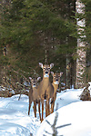 Three white-tailed deer in northern Wisconsin.
