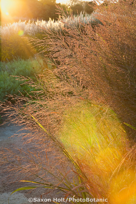 Sunbeam, Backlit flower head of Switch Grass, Wand Panic Grass (Panicum virgatum) 'Dallas Blues' in Chicago Botanic Garden