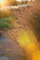 Sunbeam, Backlit flower head of Switch Grass, Wand Panic Grass (Panicum virgatum) 'Dallas Blues' in Chicago Botanic Garden