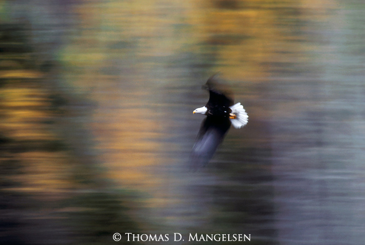 A Bald Eagle soars past against a blurry background in Montana.