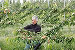 Foto: VidiPhoto<br /> <br /> OCHTEN – Fruitteler Bart Verwoert uit Lienden bindt dinsdag in zijn kersenboomgaard in Ochten de takken van zijn 1300 'platgeslagen' bomen op. Na de valwind van afgelopen vrijdag trekt zijn bongerd veel bekijks. Voorbijgangers zijn in de veronderstelling dat ook hij last heeft gehad van de storm. Niets is minder waar. Verwoert hanteert twee nieuwe en relatief onbekende teeltsysteem: Lehner en Ufo. In het eerste geval worden kersenbomen geplant in een hoek van 45 graden. Voordeel is dat ze zo langer kunnen doorgroeien onder de kap, minder gesnoeid hoeven te worden en oogsten straks makkelijker gaat. Bij het Ufo-systeem groeit de boom horizontaal en staan de takken verticaal. Dat heeft min of meer hetzelfde voordeel. Tot nog toe hanteren slechts enkele telers in Nederland deze nieuwe teeltwijze.