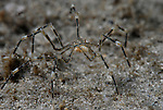 Sea Spider with Eggs, Lentil Sea Spider with Eggs, Underwater Marine life Behavior, Blue Heron Bridge, Lake Worth Inlet, Riviera, Florida, USA, Intra Coastal Waterway, North Atlantic Ocean. 2-22-14-489