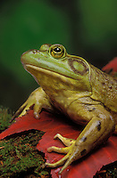 BULLFROG on autumn maple leaves..Great Lakes area, Ontario..Rana catesbeiana.