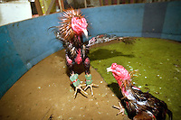 Thailand. Bangkok. Tha Tian. Cockfighting. A cockfight is a blood sport between two roosters, held in a ring called a cockpit. The combatants, known as gamecocks, are specially bred birds, conditioned for increased stamina and strength.  Cocks possess congenital aggression toward all males of the same species. The cockpit is built in an illegal squatter house along the river bank and above the Chao Phraya River Tha Tian is a community located in the downtown area and in the center of the urban historic district, called Koh Rattanakosin. 30.03.09 © 2009 Didier Ruef
