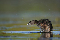 Pied-billed Grebe (Podilymbus podiceps), adult shaking water off, Fennessey Ranch, Refugio, Coastal Bend, Texas, USA