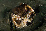 Coconut Octopus, Amphioctopus marginatus, in a broken bottle with eggs, Lembeh Strait, Manado, North Sulawesi, Indonesia, Pacific Ocean