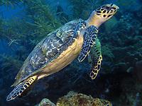 Juvenile hawksbill turtle, Eretmochelys imbricata, swimming