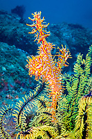 ornate ghost pipefish, harlequin ghost pipefish, Solenostomus paradoxus, holding it's egg mass in the pouch that is formed by two specialized fins, Philippines, Pacific Ocean