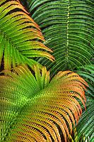 Close-up of 'ama'u ferns taken at Hawai'i Volcanoes National Park, Big Island of Hawai'i.