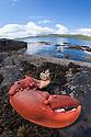 European / Common Lobster {Homarus gammarus} cooked claw on rock shore. Isle of Mull, Scortland, UK. June.