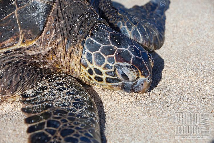 Close-up of a Hawaiian green sea turtle (honu) on Papa'iloa Beach, North Shore, O'ahu.