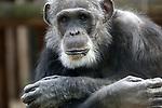 """Foto: VidiPhoto<br /> <br /> AMERSFOORT - De chimpansees die vanochtend waren ontsnapt uit hun verblijf in Dierenpark Amersfoort zijn uit voorzorg doodgeschoten. Volgens de dierentuin vertoonden Mike (foto) en Karibuna """"imponerend gedrag, wat voor een gevaarlijke situatie kon zorgen"""". De dierentuin spreekt van een zwarte dag. """"De eerste conclusies zijn dat we te maken hebben met een menselijke fout rondom het sluiten van de verblijven, waardoor er twee apen uit het verblijf wisten te komen. De komende dagen wordt er nader onderzoek gedaan naar de oorzaak. Op dit moment hebben we wel geconstateerd dat er geen technische mankementen zijn aan het verblijf"""", aldus de dierentuin. De dierentuin zegt dat meteen nadat de apen waren gezien het protocol 'Dier Ontsnapt' in gang is gezet. """"Dit betekent onder andere dat bezoekers en medewerkers in veiligheid worden gebracht en dat het ontsnapte dier wordt opgespoord. De twee mannelijke chimpansees vertoonden imponerend gedrag, wat voor een gevaarlijke situatie kon zorgen en daarom is er op dat moment de beslissing gemaakt om de chimpansees dood te schieten."""" Verdoven was niet mogelijk, zegt de dierentuin. Mike was de oudste chimpansee van het park. Foto: Archieffoto Mike."""
