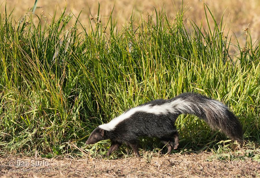 Striped Skunk, Mephitis mephitis, in Sacramento National Wildlife Refuge, California