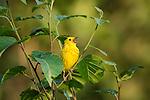 American yellow warbler singing