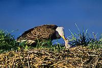 Bald Eagle (Haliaeetus leucocephalus) feeding very young chick (eaglet) in nest.