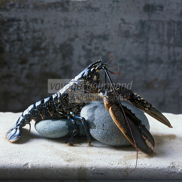 Europe/France/Bretagne/29/Finistère/Roscoff: Homards Bleus de Bretagne  Stylisme Valérie Lhomme //  //  France, Finistere, Roscoff, Brittany blue lobsters, photography styling by Valerie Lhomme