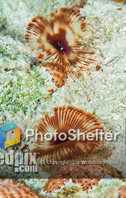 28 January 2016:  A pair of Feather Duster Worms (Sabellidae) are observed on the reef at Captain Don's Habitat in Bonaire. Bonaire is known for its pioneering role in the preservation of the marine environment. A part of the Netherland Caribbean Islands, Bonaire is located off the coast of Venezuela and offers excellent scuba diving, snorkeling and windsurfing.  Mandatory Credit: Ed Wolfstein Photo *** RAW (NEF) Image File Available ***