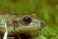 FR16-001a  Spring Peeper Tree Frog -  Pseudacris crucifer, formerly Hyla crucifer