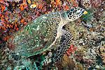 Misool, Raja Ampat, Indonesia; Boo area, a Hawksbill Sea Turtle feeding on orange sponges on the coral reef