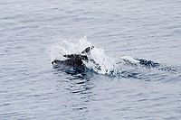 hourglass dolphin, Lagenorhynchus cruciger, adult, surfacing, Falkland Islands, South Atlantic Ocean