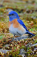 Male Western Bluebird (Sialia mexicana) on rocky outcropping covered with haircap moss..   Columbia River Gorge National Scenic Area, Washington-Oregon.  Early Spring.