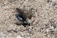 Weiden-Sandbiene, Große Weiden-Sandbiene, Auen-Sandbiene, Auensandbiene, Weidensandbiene, Sandbiene, Weibchen an ihrer Niströhre, Nistloch, Brutröhre, Andrena vaga, Andrena ovina, Grey-Backed Mining-Bee, Grey-Backed Mining Bee, female, mining bee, Sandbienen, mining bees