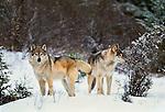 Grey wolves, Montana