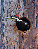 Female pileated woodpecker looking out of nesting cavity