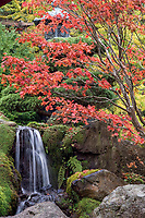 Japanese Tea Garden in Golden Gate Park, San Francisco, California. Japanese Maple tree with fall color by waterfall.
