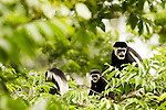 Mantled Colobus (Colobus guereza) females and young in tree, Kibale National Park, western Uganda