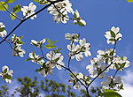 Dogwood Blossoms in Connecticut