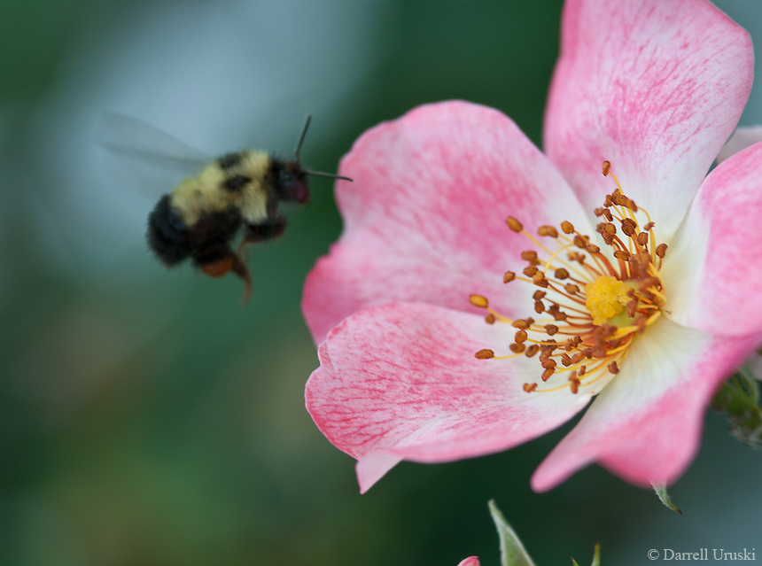 Macro Photograph of a bee landing on a flower to gather some pollen.