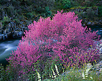 Sierra National Forest, CA<br /> Flowering California redbud (Cercis canadensis) and white lupine on the Merced River in the Merced River Canyon