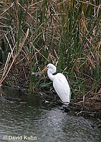 0111-0947  Great Egret with Fish in Beak, Ardea alba  © David Kuhn/Dwight Kuhn Photography
