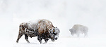 Adult male American bison (Bison bison) covered in snow and grazing near the Firehole River, Upper Geyser Basin, Yellowstone, USA. January (stitched image)