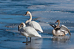 Three trumpeter on the ice over Flat Creek on the National Elk Refuge in Wyoming.