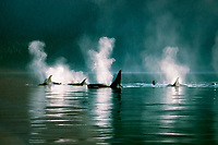 orcas or killer whale, Orcinus orca, spouting, British Columbia, Canada (Pacific Ocean)