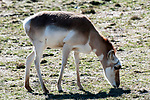 pronghorn full body view grazing facing right
