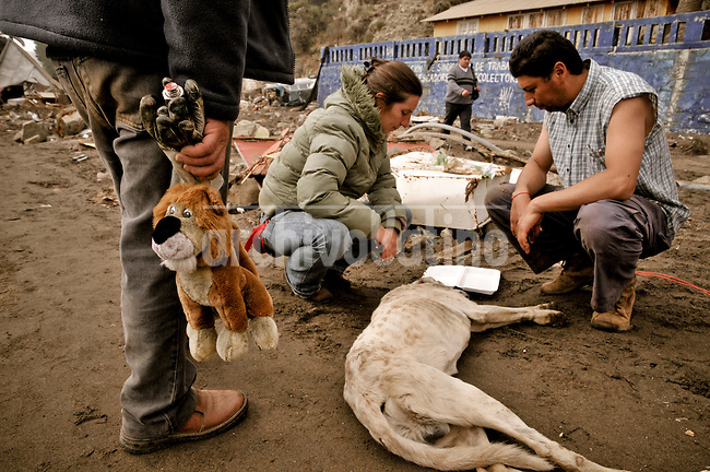 Chile, Aftermath of the tsunami in the area of Consitucion. People helping a dyng dog.