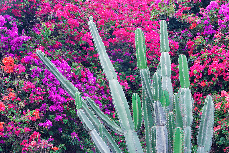Boganvia and cactus. Kauai, Hawaii.