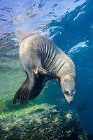 California Sea Lion, Zalophus californianus, Los Islotes, Baja, Sea of Cortez, Pacific Ocean