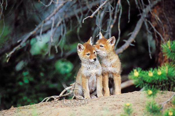 Wild Coyote pups wait near densite for parent to return.  Western U.S., June.