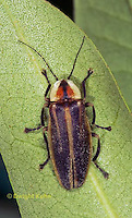 1C24-537z  Firefly Adult - Lightning Bug - Photuris spp