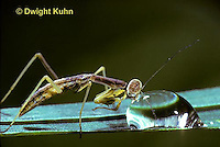 1M20-315z  Praying Mantis drinking nymph drinking from water drop -  Tenodera aridifolia sinenesis