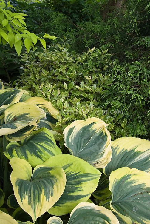 Osmanthus heterophyllus Goshiki (Variegated Holly Olive, False Holly) & Hosta