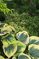 Osmanthus heterophyllus Goshiki (Variegated Holly Olive, False Holly) & Hosta