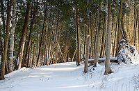 Golden morning sun shining through a cedar forest during the early winter. Fayette State Park, Garden Peninsula.